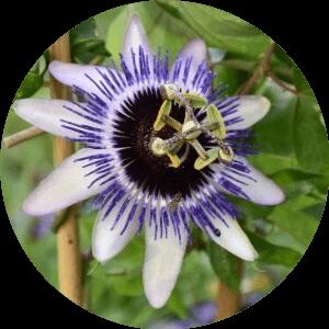 golgotavirág gyógynövény