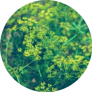 kapor gyógynövény