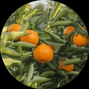 narancs gyümölcs