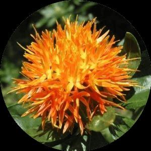 Sáfrányos szeklice gyógynövény
