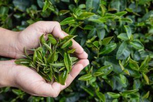 Mitől olyan egészséges a zöld tea?